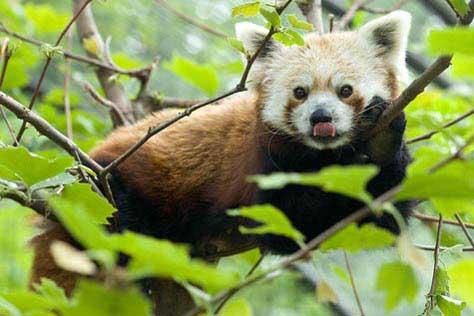 panda kort zoo