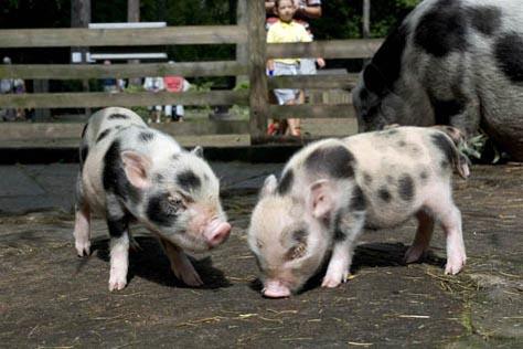 świnia zwisłobrzucha