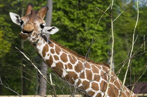 żyrafa siatkowana2