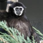 gibbon białoręki