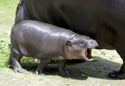 hipopotam karłowaty1