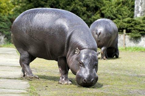hipopotam karłowaty