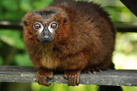 lemur czerwonobrzuchy