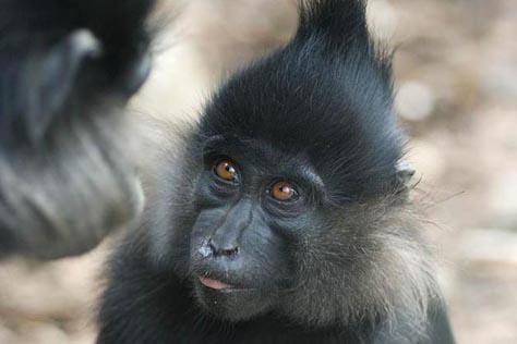 mangaba czarna