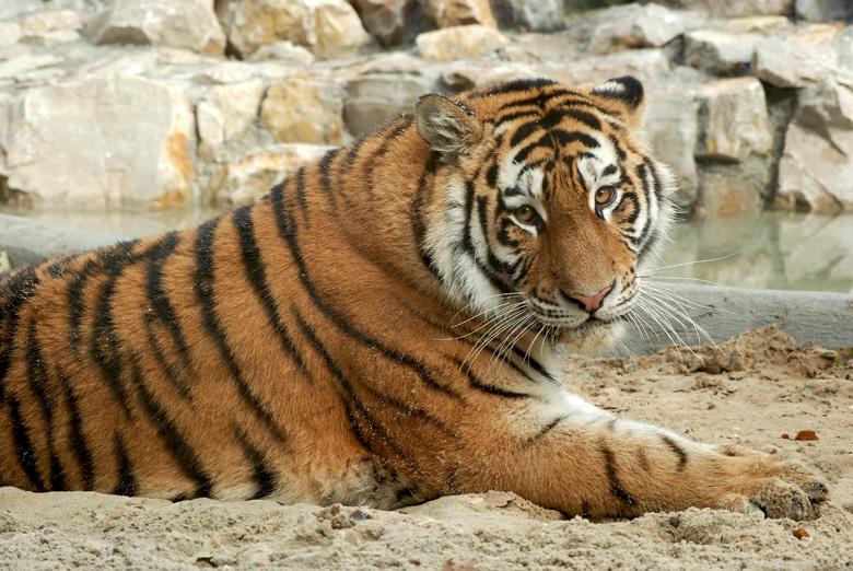 tygrys2