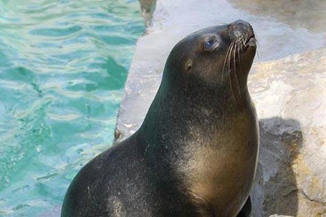 uchatka patagońska