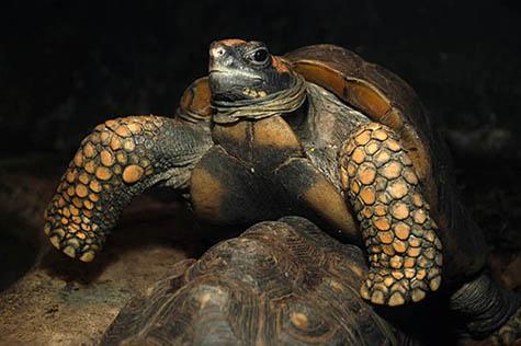 żółw żabuti