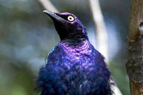 blyszczak purpurowy