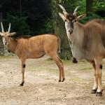250 zł antylopa eland