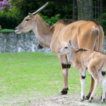 samczyk antylopy eland z matką