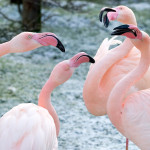 kłótnia flamingów