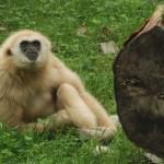 150 zł gibbon białoręki