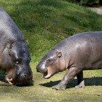 400 zł hipopotam karłowaty