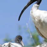 ibis australijski
