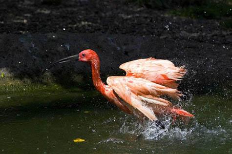 ibis purpurowy