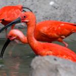 delikatne ibisy zostały przeniesione na zimowisko