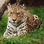 600 zł jaguar