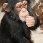 250 zł szympans