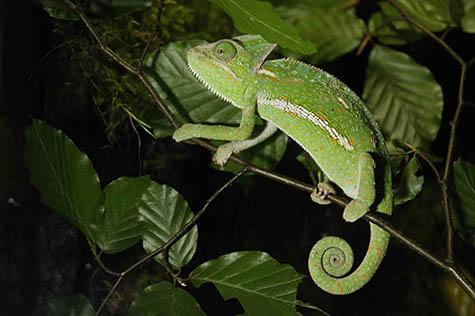 kameleon jemenski2