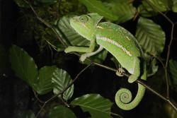 kameleon jemeńsi