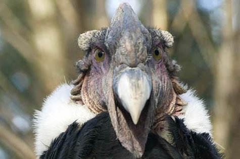kondor wielki