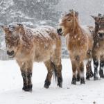 konie Przewalskiego ze śnieżycą w tle