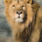 ciepłolubne lwy chętnie spędzają czas na zewnątrz