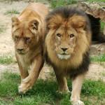 600 zł lew afrykański