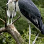 marabut afrykanski2
