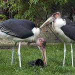 marabut afrykanski