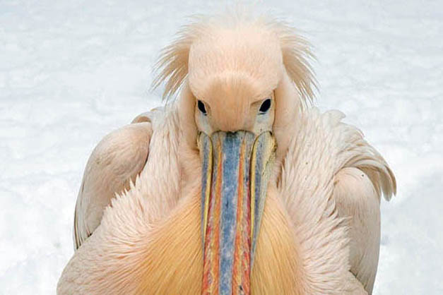 https://zoo-krakow.pl/wp-content/uploads/2016/05/pelikan-rozowy.jpg