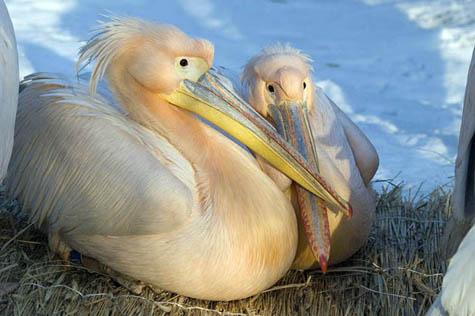 pelikan rozowy3