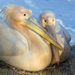 pelikan rozowy