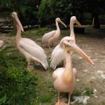 100 zł pelikan różowy
