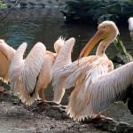 pelikany różowe