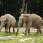 1850 zł słoń indyjski