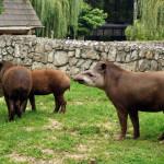 400 zł tapir anta