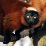 150 zł lemur wari