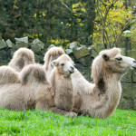 wielbłądy w zimowym futrze