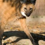 wilczyca2