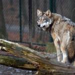 400 zł wilk europejski