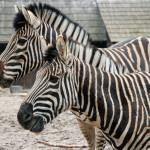 400 zł zebra Chapmana