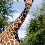 żyrafy zobaczymy o każdej porze roku