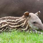 mały tapirek