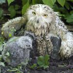 W czasie deszczu młode chronią się pod skrzydłami matki.