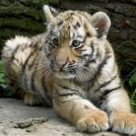 Tygrys amurski w wieku 3 miesięcy