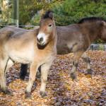 konie Przewalskiego