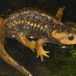 salamandra chińska
