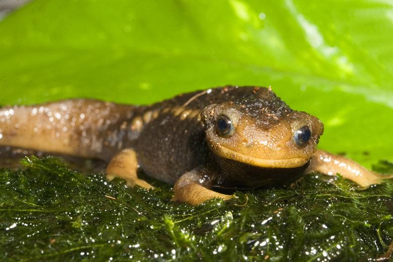 salamandra6F