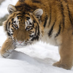 tygrys amurski-młoda samica